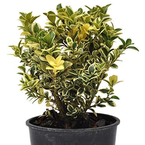 - Buxus sempervirens, Variegata, Variegated Boxwood