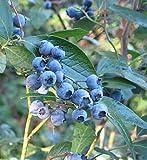 260pcs mirtillo semi di albero semi di frutti semi piantine bonsai semi di frutta frutta Trasporto LIBERO