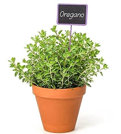 Oregano Ecológico 0,2 g 1.500 semillas Origanum vulgare seeds Orégano Eco