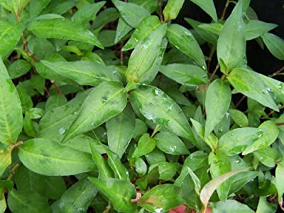Persicaria Odorata /Rau Ram (Vietnamse Coriander Herb) by Nga's Garden