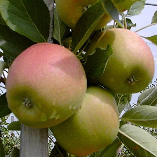 Apfelbaum Johannes Böttner Apfel Buschbaum 150-170 cm 10 Liter Topf Unterlage M7