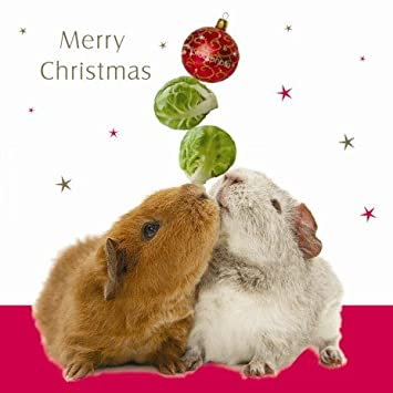 Christmas Spirit Guinea Pigs Christmas cards 10 pack: Amazon.co.uk ...