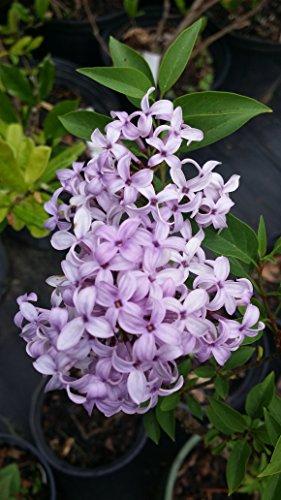 Lilac Garden Nursery - 6