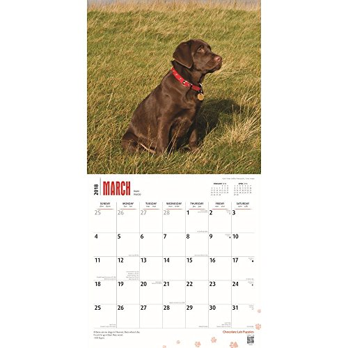 Chocolate Labrador Retriever Puppies 2018 Wall Calendar Photo #2