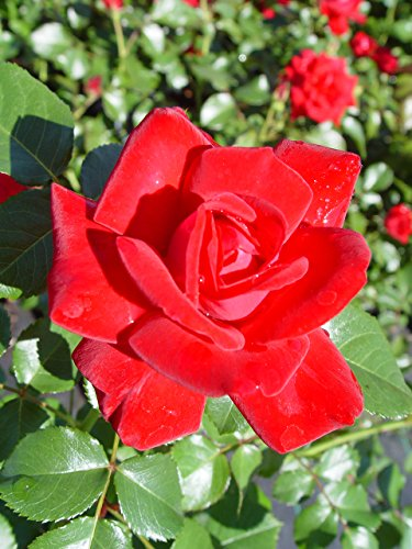 Easy Elegance Roses - Rosa Super Hero (Rose) Rose, red flowers, #2 - Size Container by Green Promise Farms (Image #2)