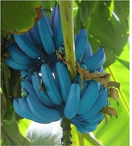 Blue Java Banana | amazon.com