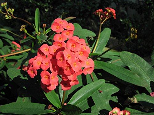 Euphorbia milii: Crown of thorns