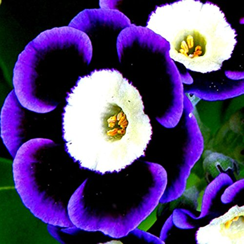 100pcs Seeds Tricolor Trailing Petunia Flower dwaft calibrachoa Garden Plant dec ()