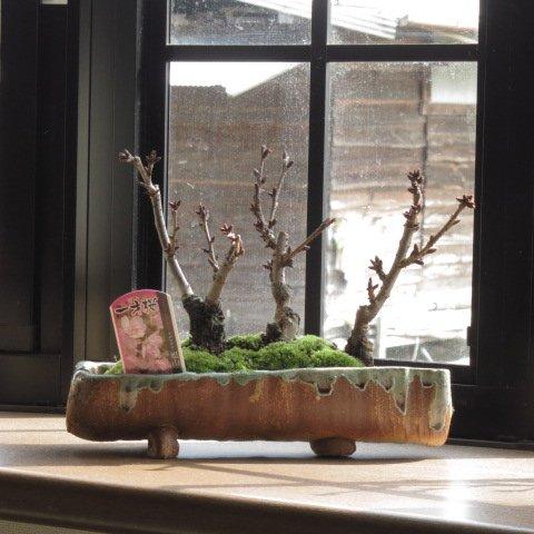 桜盆栽の寄せ植え桜 桜並木 ミニ桜で自宅で お花見気分を満喫 お祝いにはサクラ盆栽 B00IJSJINA