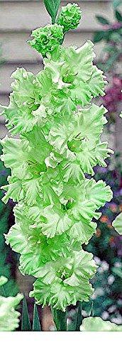 ((5) Fresh, New 2018, Green Flash, Ruffled Green Flowering Gladiolus Large Bulbs, Plants, Flowers, Flowering Perennials,Sword Lily, Gladioli-SeedsBulbsPlants&More)