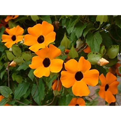 Black Eyed Susan Vine 1/4 pound seeds Stunning Rapid Southern Trellis! : Garden & Outdoor