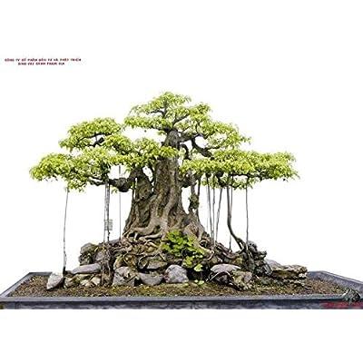 bansai Strangler fig - Banyan Tree - ficus benghalensis - 25+ Fresh Seeds: Home & Kitchen