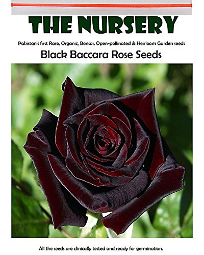 2018 Hot Sale Davitu Black Baccara Rose Seeds, 50 PCS, Professional Pack, Fragrant Perennial Home -