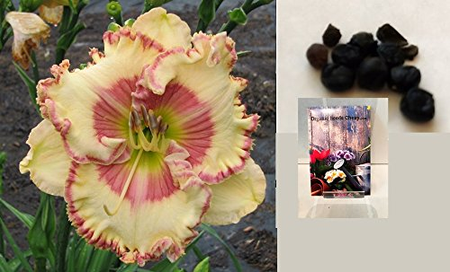 Hemerocallis Ruffled (Barbies Favorite Daylily Certified 5 Seeds (Hemerocallis) Upc 643451296235)