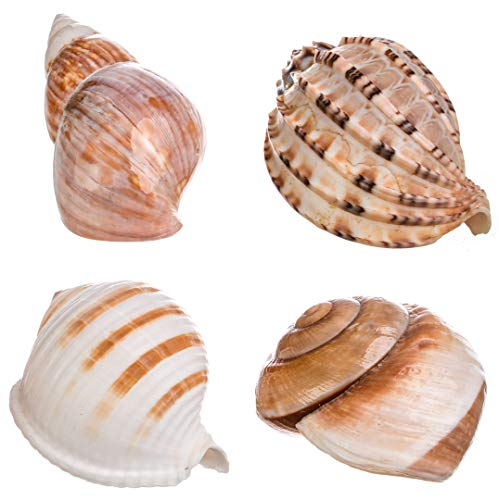 Decorative Shell Assortment | 4 Sea Shells 3-3.5