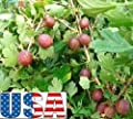 Red Pixwell Gooseberry 15-100 seeds (Tree of Antiquity)