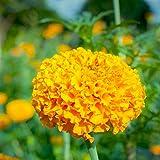African Marigold Flower Garden Seeds - Crush Series F1 - Pumpkin Orange - 1000 Seeds - Annual Flower Gardening Seeds - Tagetes erecta