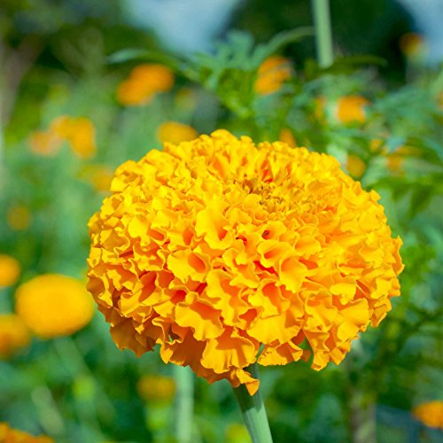 African Marigold Flower Garden Seeds - Crush Series F1 - Pumpkin Orange - 1000 Seeds - Annual Flower Gardening Seeds - Tagetes erecta by Mountain Valley Seed Company