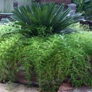 Asparagus Ferns (Outsidepride Asparagus Fern - 100 Seeds)