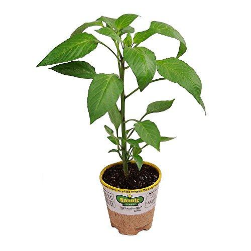 Bonnie Plants 3100 Habanero Vegetable product image