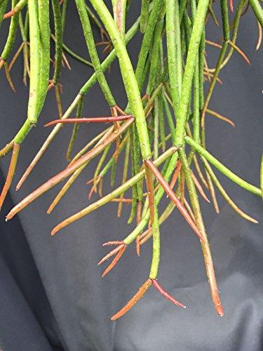 LovelyGarden RHIPSALIS MAURITIANA 'FERRARI', JUNGLE CACTUS, ROOTED PLANTS SHIPPED IN 2.5
