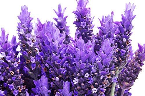 500 Lavender Seeds - True Lavender, Lavender Vera