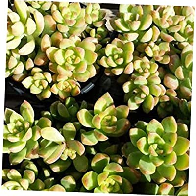 TEE 1 Bare Root Succulent Plant Large Golden Glow Stonecrop Chunky Rosette in Yellow/Gold - RK69 : Garden & Outdoor