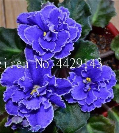 AGROBITS Semillas: Plantas 50pcs Mini Bonsai Violeta Raras para el jardín en Maceta Las Plantas de Interior Plantas hiola: 5: Amazon.es: Jardín
