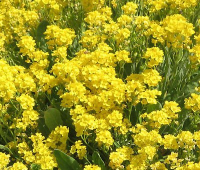 Alyssum Basket Of Gold Perennial Aurinia Saxatilis   250 Seeds
