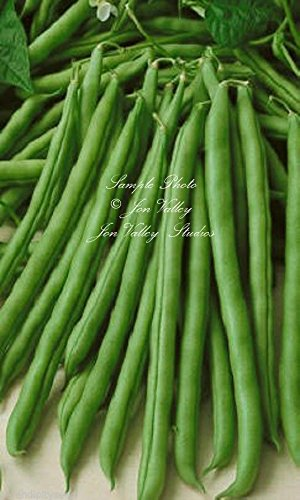 (Blue Lake Pole Bean Seeds Non GMO Heirloom High Yields Stringless Round Tender)