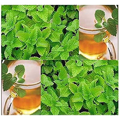 Lumos80 (500) Lemon Balm Herb Seeds - Melissa Officinalis - Combined S&H : Garden & Outdoor