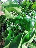 Carnosa Hoya Hindu Wax Live Plant in 8 inch Hanging Basket