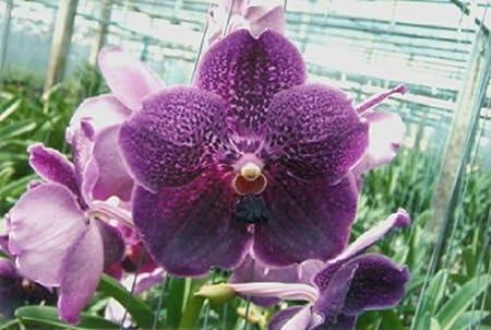 Amazon Com Vanda Pure Wax Ka Ai New Large Flowers Award