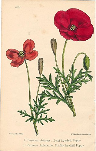 (Long & Prickly headed Poppy 1866 fine antique color flower botanical print)