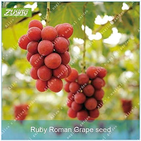 AGROBITS ZLKING10 piezas de Rubí romana uva Bonsai delicioso alto ...