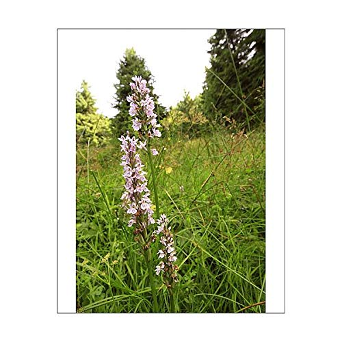 Media Storehouse 10x8 Print of Common Spotted Orchid (Dactylorhiza fuchsii) ()