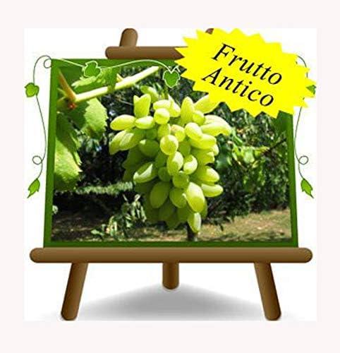 2 anni Pianta da frutto antico portainnesto su vaso da 20 albero max 170 cm Vite Pizzutello Bianco