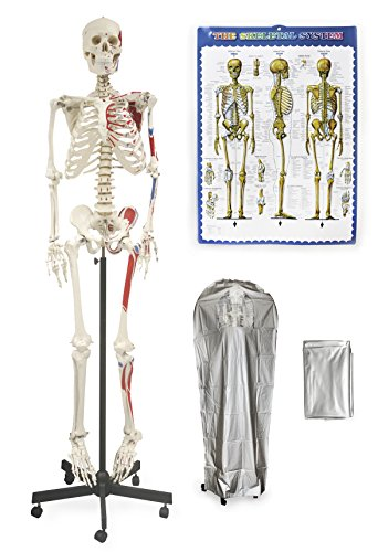 "Vision Scientific VAS200-DC Full Size Human Skeleton-66"" (168cm) with Muscle, including DCA-01 Thick Zip Dust Cover & Color Skeleton - Labeled Arm Diagram"