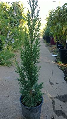Italian Cypress Trees, One Gallon Container
