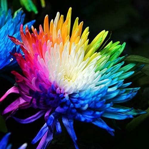 SOOGGI 100粒 カラフルな菊の種 きれいに咲く 植物種子 花 有機 観葉植物 高い発芽率 簡単な栽培 ホームガーデンの装飾
