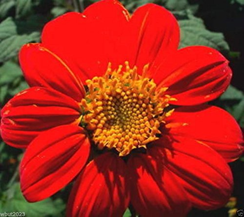 (Mexican Sunflower Seeds - Red- 50 SEEDS - Tithonia Speciosa Red Torch)