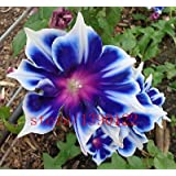 100pcs/bag Picotee Blue Morning Glory seeds,rare petunia seeds,bonsai flower seeds,plant for home garden Easy to Grow