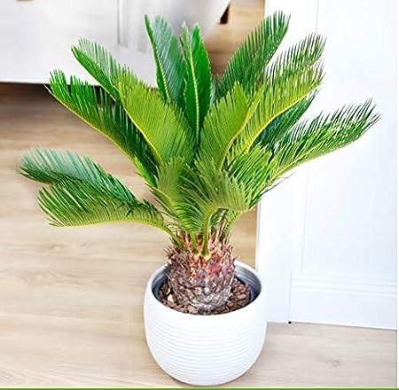 winterharte palme kaufen