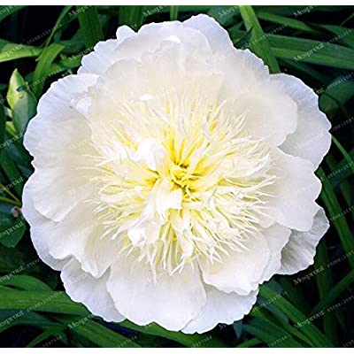 Kasuki Hot Selling 24 Kinds Pretty Peony Bonsai Paeonia Suffruticosa 10Pcs/Pack Peony Flower Bonsai for Home Garden - (Color: 1): Garden & Outdoor