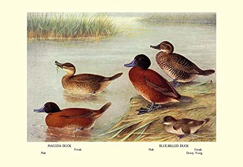 Blue Billed Ducks - Buyenlarge 0-587-08679-3-P1827 Maccoa and Blue-Billed Ducks Paper Poster, 18