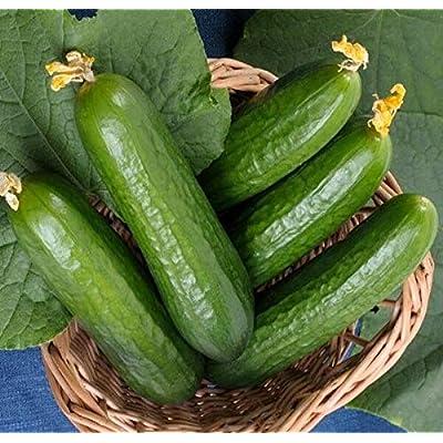 New!! - Muncher Burpless Cucumber - 50 Seeds : Garden & Outdoor
