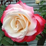 20 Double Delight Tea Rose Flower Seeds