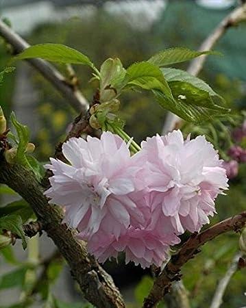 Japanische Hange Zierkirsche Kiku Shidare Zakura Japansiche