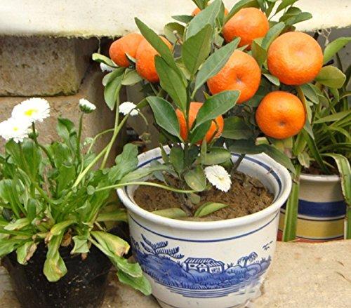 Citrus seeds for sale