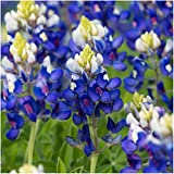 Bulk Package of 1,000 Seeds, Texas Bluebonnet (Lupinus texenis) Non-GMO Seeds By Seed Needs